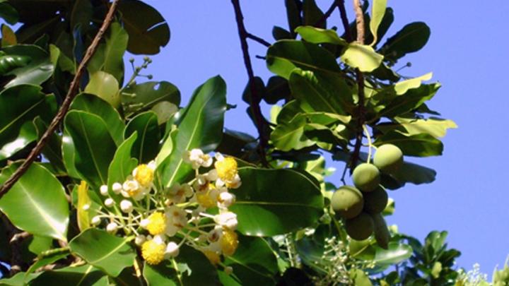 Fleur de calophylle inophyle