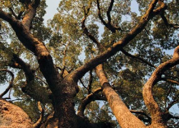 Ravintsara (Cinnamomum camphora CT cinéole)