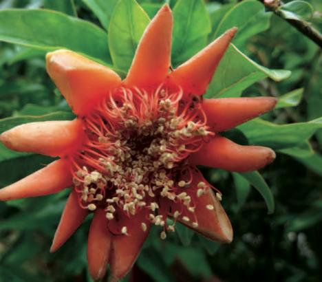 Fleur de grenadier