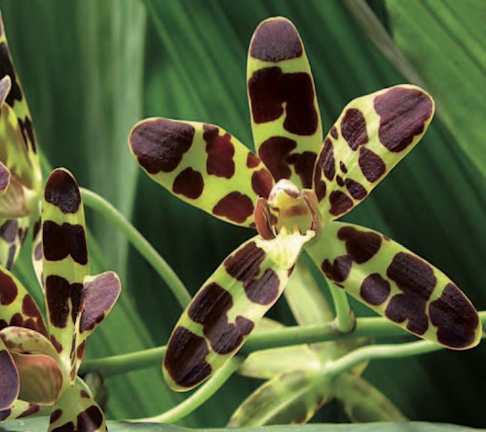 Orchidées thérapeutiques