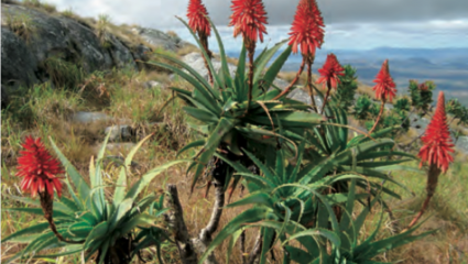 Aloe arborescens, inhibitrice de la prolifération cancéreuse.