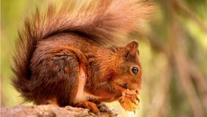 Écureuil mangeant une noix