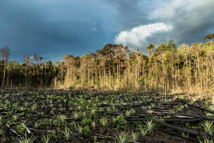 Forêt de palmier à huile