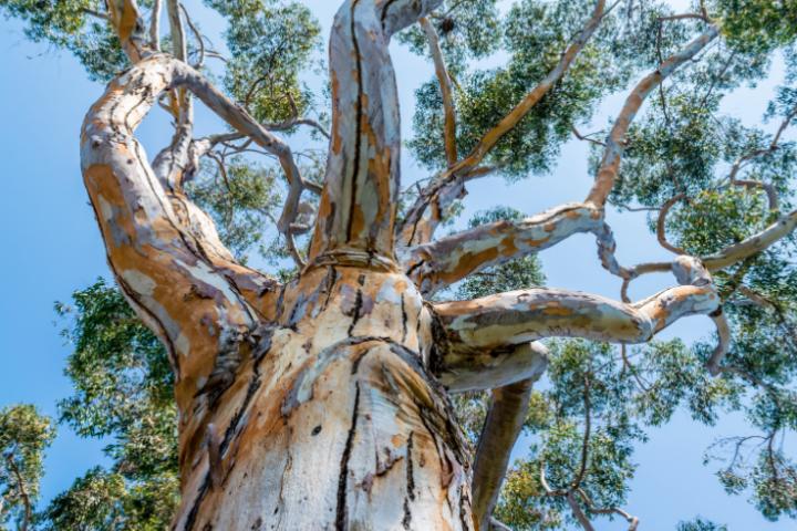 Eucalyptus arc-en-ciel, Eucalyptus deglupta