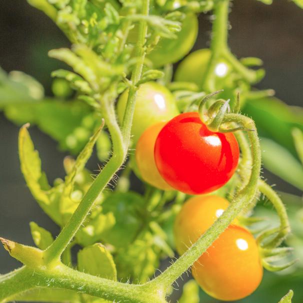 Plan de tomates