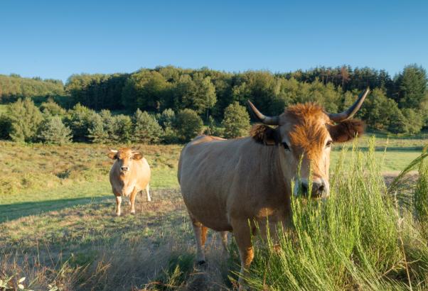 Vaches à cornes