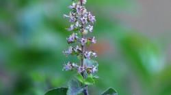 Tulsi, Ocimum tenuiflorum