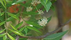 Neem, Azadirachta indica