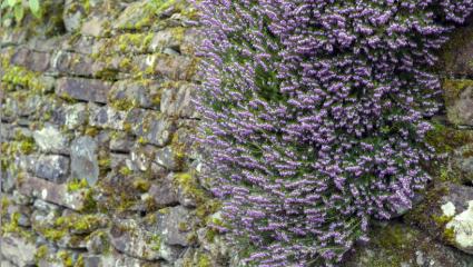 Bruyère callune (Calluna vulgaris)