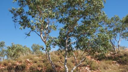 Eucalyptus leucophloia