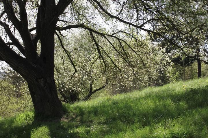 Bois de Sainte-Lucie