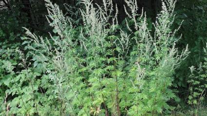 Armoise commune (Artemisia vulgaris)