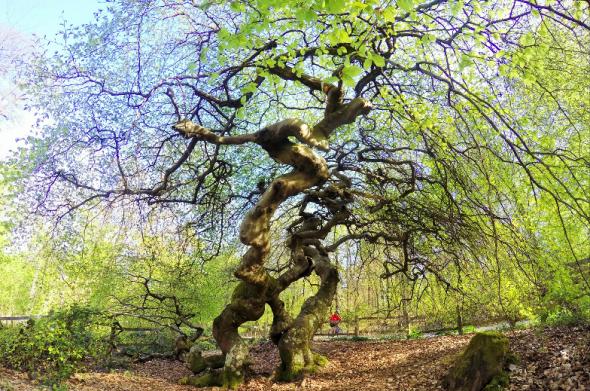 La Forêt domaniale de Verzy accueille 800 hêtres tortillards à la longévité remarquable grâce à leur système de reproduction.