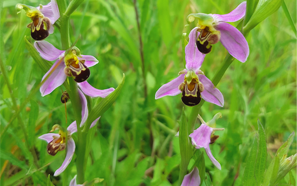 Ophrysabeille (Ophrys apifera)