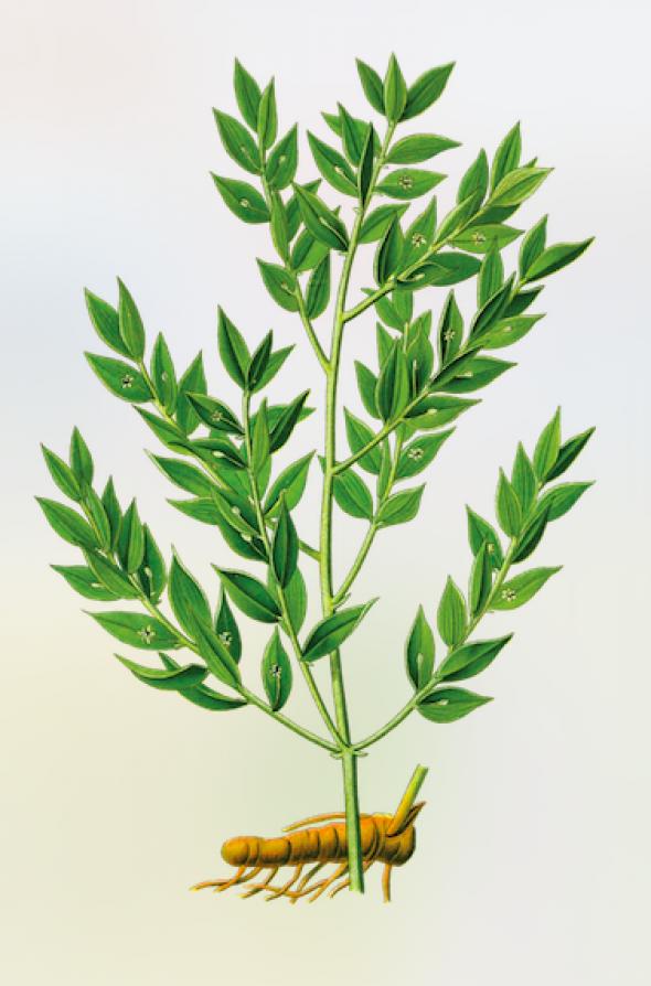 Fragon (Ruscus aculeatus)