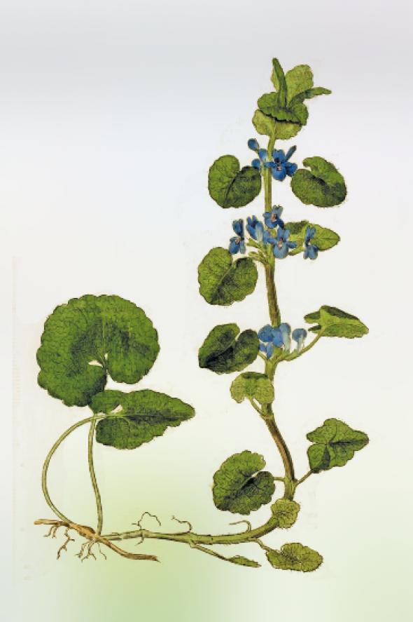Lierre terrestre (Glechoma hederacea)