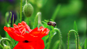 Le coquelicot et l'abeille tapissière