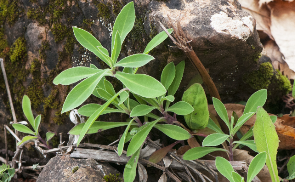 Jeunes feuilles de silène