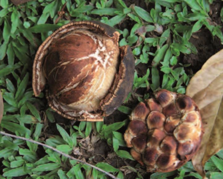 Les fruits dont l'huile de chaulmoogra est extraite.