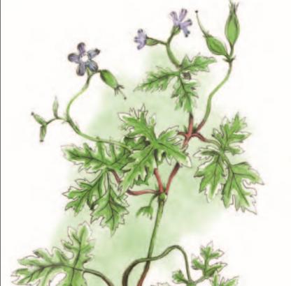 Géranium herbe
