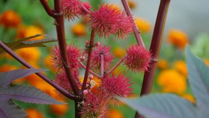 Le ricin (Ricinus  communis)