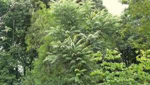Cedrela augustifolia