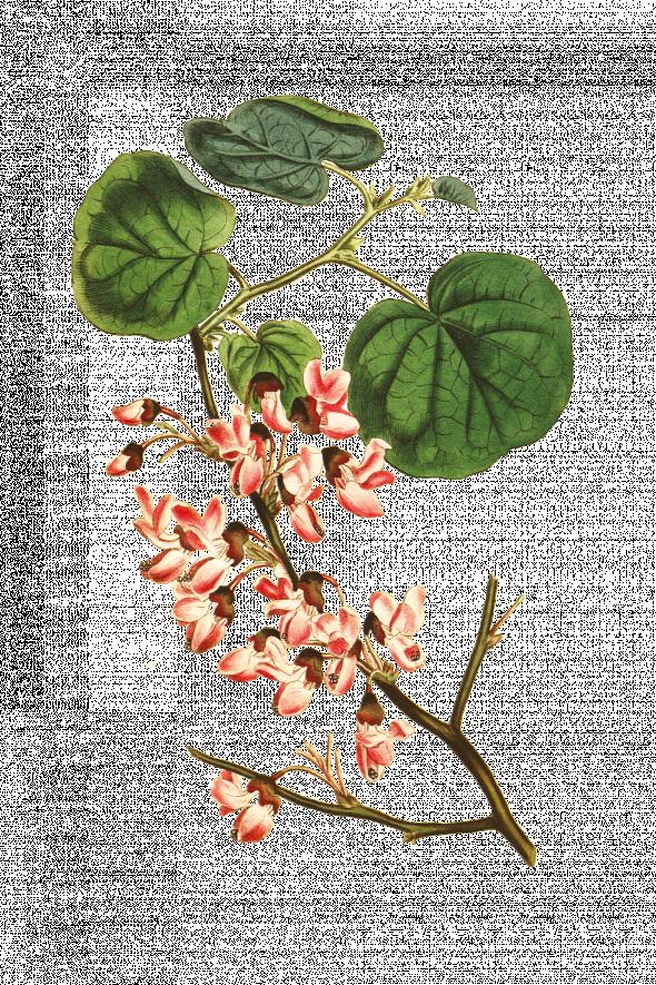 Arbre de Judée (cercis siliquastrum)