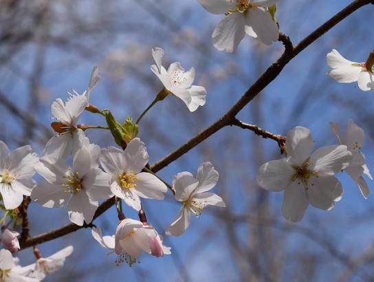 Cerisiers sauvages