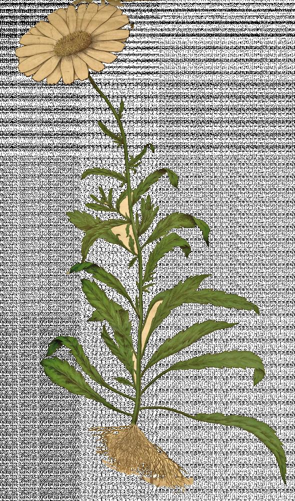 Marguerite (chrysanthème leucanthème)