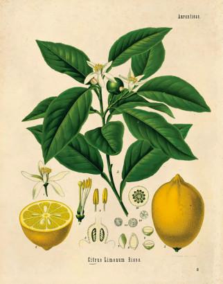 Citronnier, Citrus limon