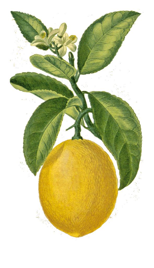 Citron (citrus lumonum)