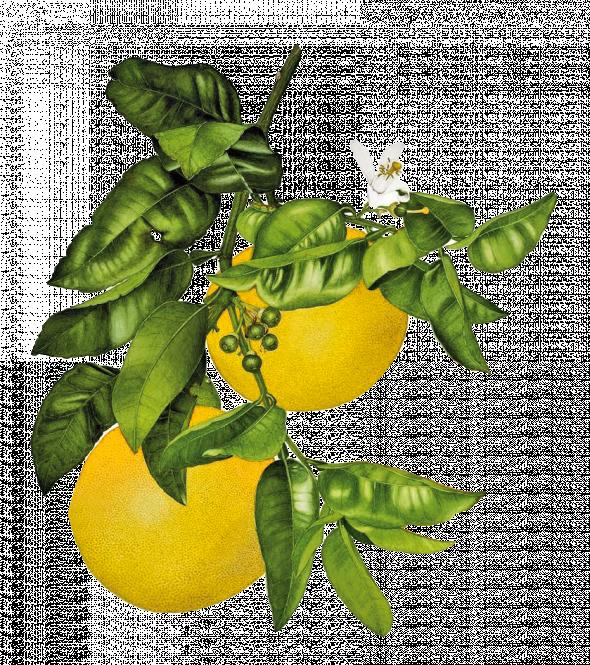 Pamplemousse (citrus paradisi)