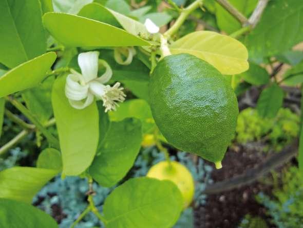citronnier - citrus limon