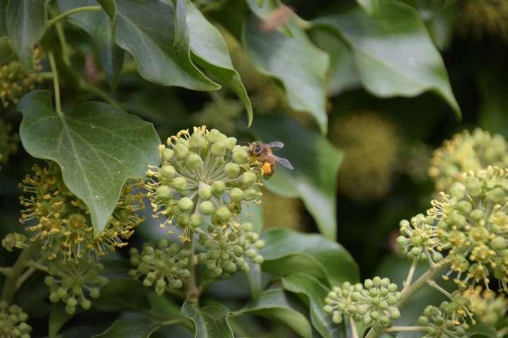Symbiose L'association vitale d'une liane et d'une abeille