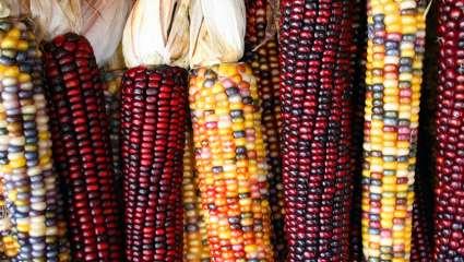 Maïs coloré
