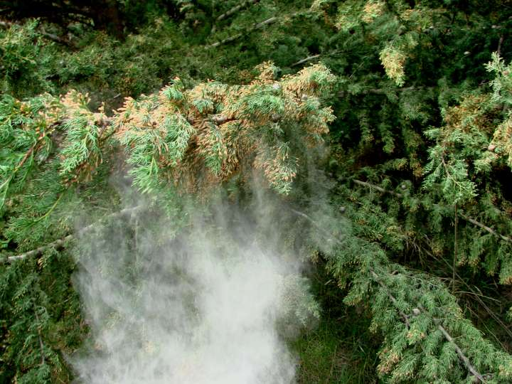 Cypres pollen