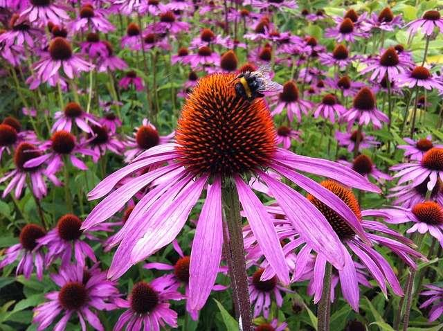 Equinácea - Jardín, mantenimiento, tinturas madre - Plantas y salud