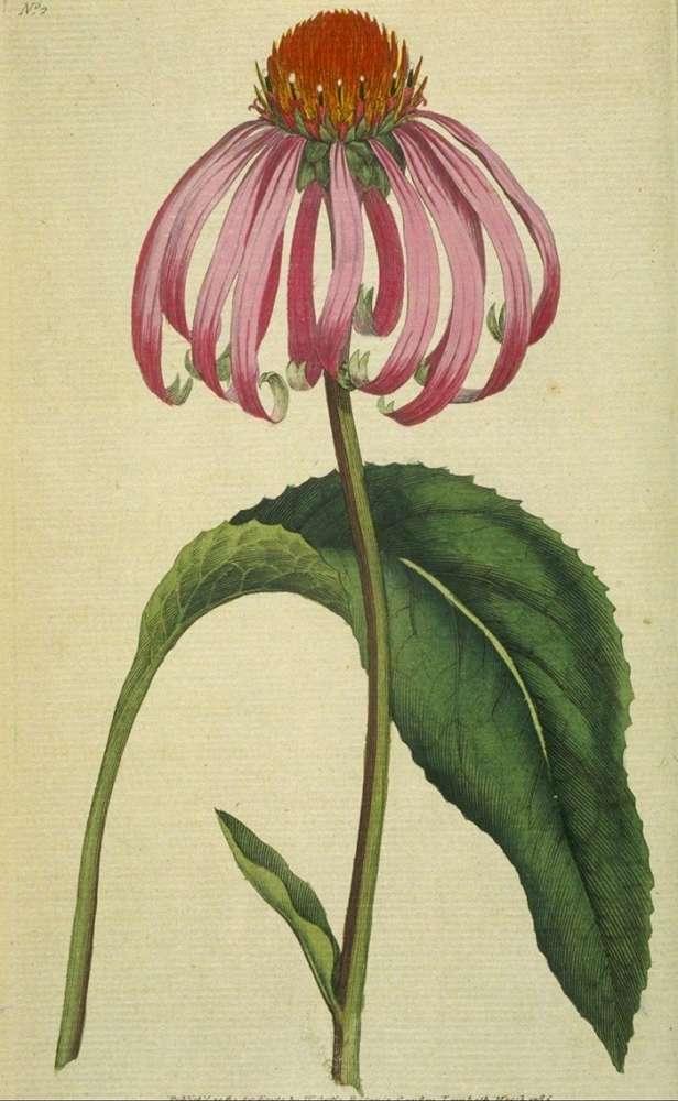 Échinacée, Echinacea purpurea