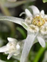 Luc Bernard utilise les edelweiss en macération solaire