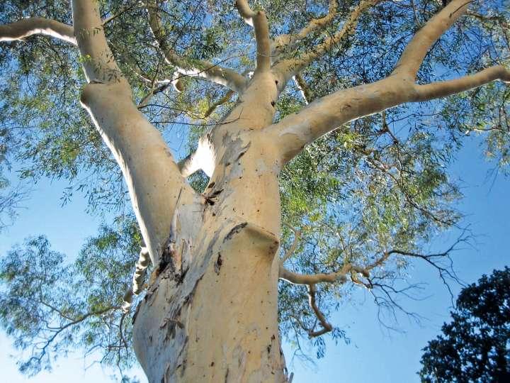 Huile essentielle d'eucalyptus pour soigner les articulations
