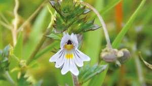 Euphraise, Euphrasia officinalis