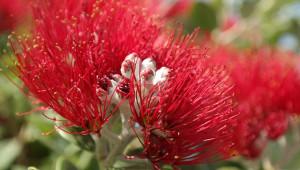 Le myrte rouge
