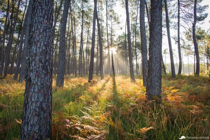 Forêt landaise