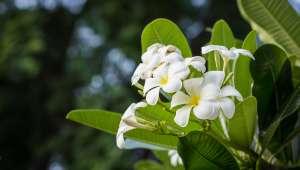 Gardenia tahitensis, fleur de tiaré
