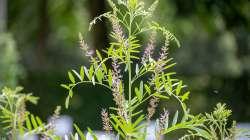 Réglisse, Glycyrrhiza glabra