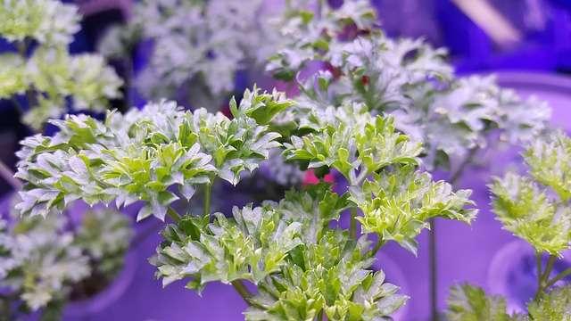 Céleri (Apium graveole)