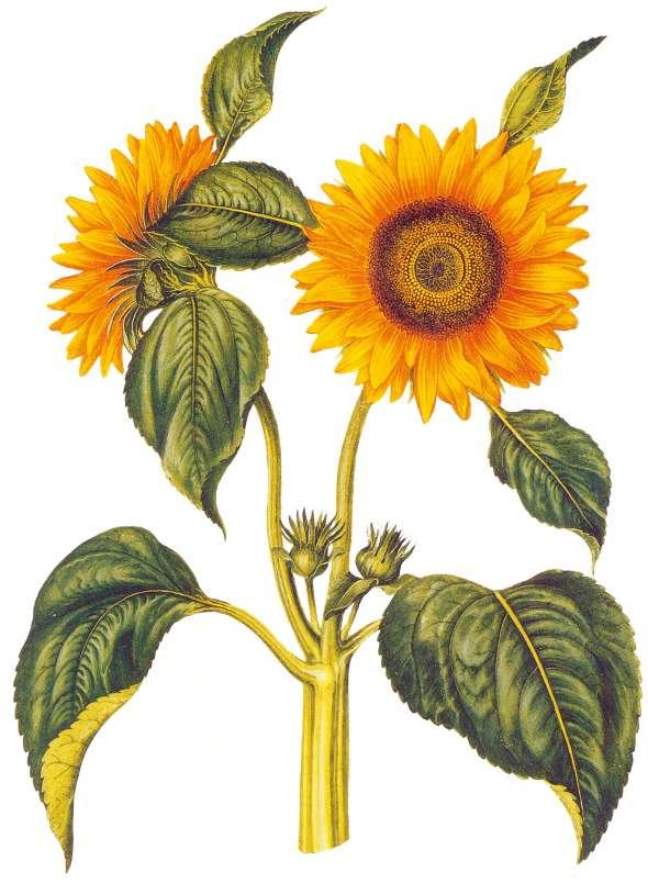 Tournesol (Helianthus annuus)