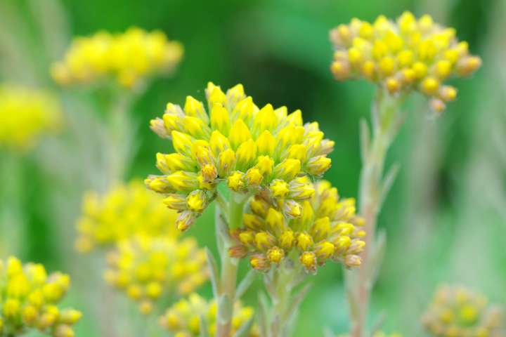 Hélichryse italienne (Helichrysum italicum)