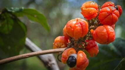 guarana d'Amazonie - Warana