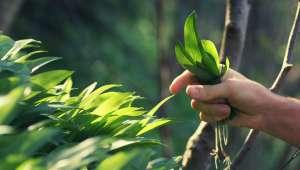 Cueillir des plantes médicinales dans la nature